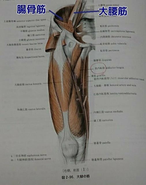 腸腰筋.jpg